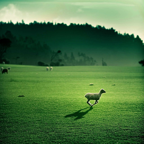 Cuba Gallery: New Zealand / landscape / green / grass / rural / sheep / nature / hills / trees / color / photography / farm / beautiful / amazing